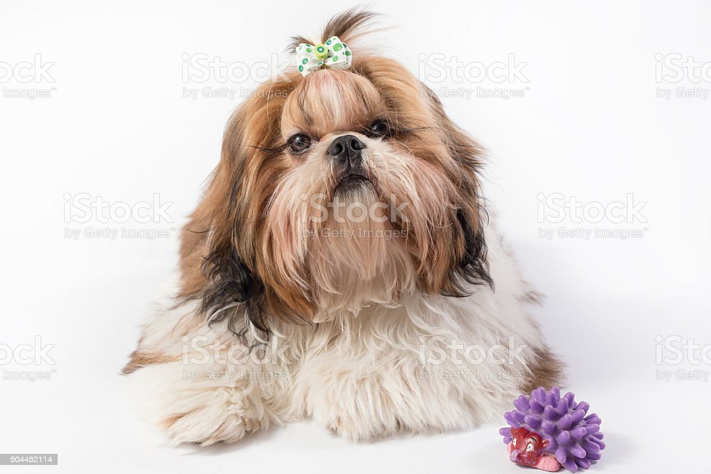 Shihtzu Red Puppy Portrait Isolated Stock Photo Download Image Now Istock