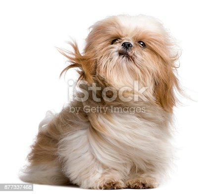 istock Shih-Tzu with windblown hair, sitting in front of white background 877337468