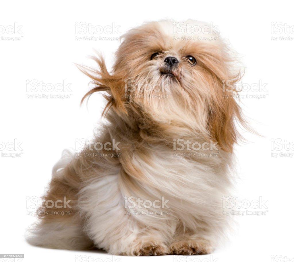 Shih-Tzu mit vom Wind verwehten Haaren, sitzt vor weißem Hintergrund – Foto