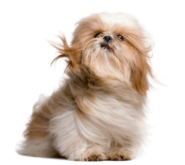 shih-tzu with windblown hair, sitting in front of white background - animal hair stock pictures, royalty-free photos & images