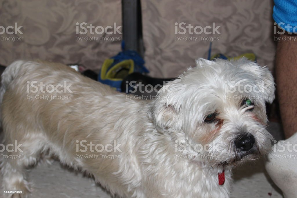 Shihtzu Yorkie Mix Dog Stock Photo More Pictures Of Animal Istock