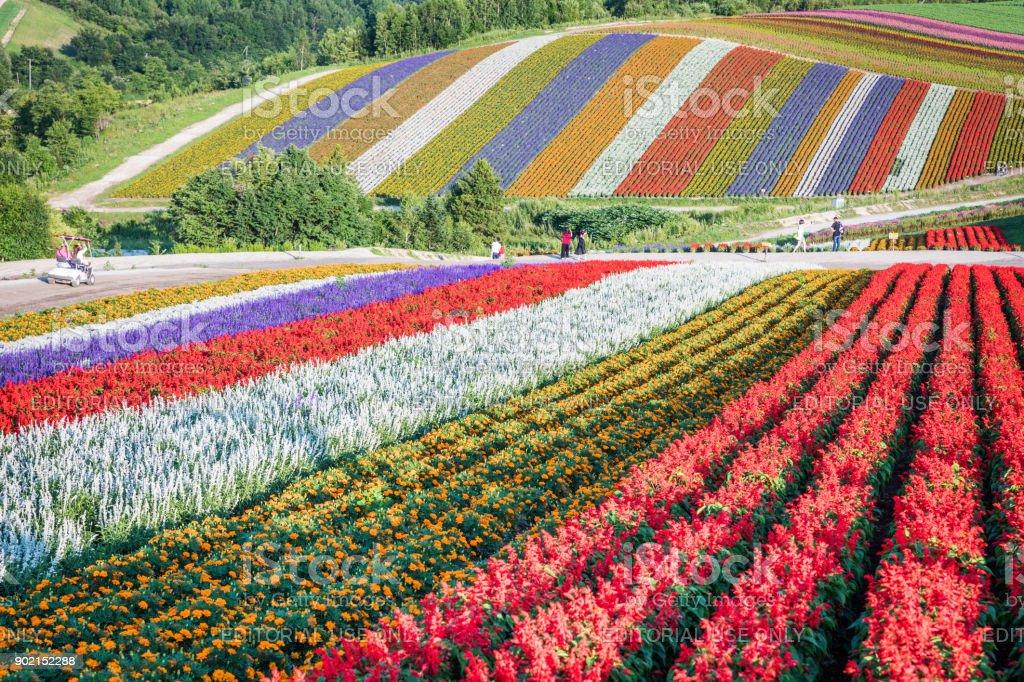 Shikisai-no-Oka Flower Hills in Summer stock photo