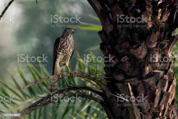 Shikra bird seating on a tree branch picture id1002634682?b=1&k=6&m=1002634682&s=612x612&h=fjqqwja8hvjbbpas7ohmpfvkyjwungsgurozxdd3vhc=