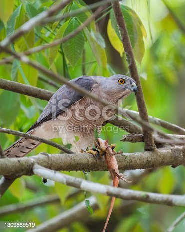 A Shikra (Accipiter badius), a small bird of prey, perched on a tree branch with it's kill of a garden lizard, in the forests of Thattekad in Kerala, India.