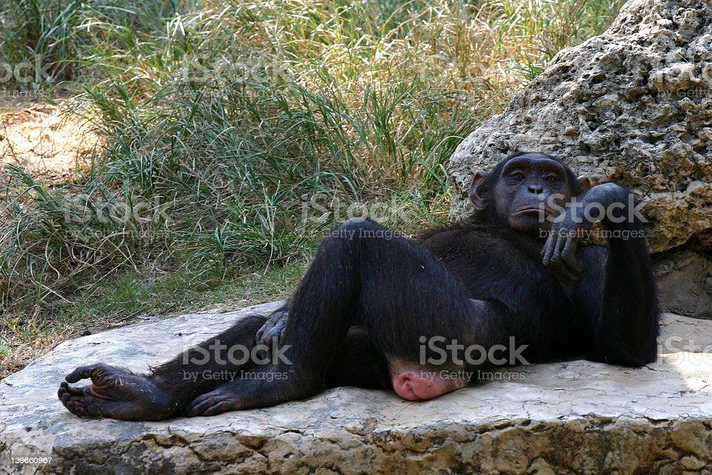 Shimpanzee royalty-free stock photo