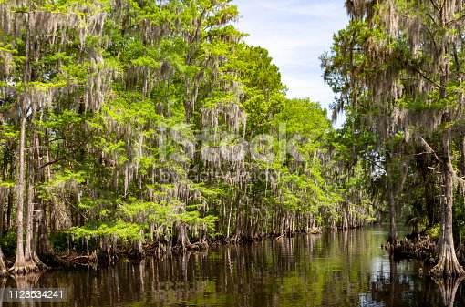 Shingle Creek in Kissimmee Floriida is lined with Cypress Trees. Shingle Creek is recognized as the Headwaters of the Everglades in Florida. This is Shingle Creek Preserve just before it feeds into Lake Tohopekaliga in Kissimmee, Florida where Birders, Bass Fishermen,  Kayakers, and Tourists enjoy the eco-tourism opportunities are found on a year-round basis.