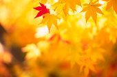 輝く秋の葉