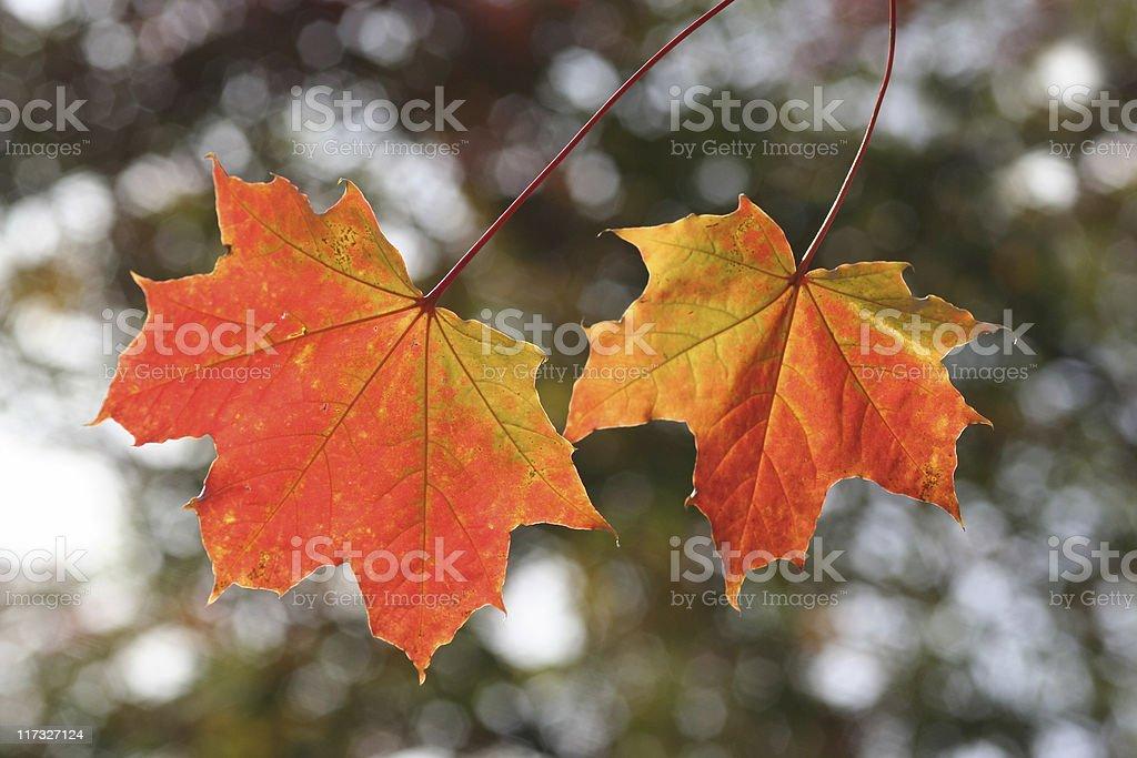 Shining Autumn Leaves royalty-free stock photo