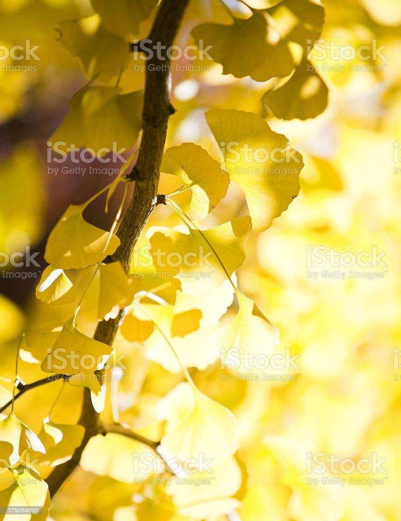 Shining Ginkgo Leaves royalty-free stock photo