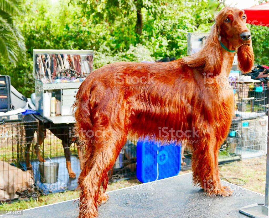 Shining Irish Setter Dog stock photo