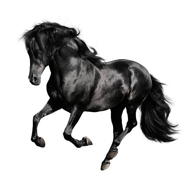 Shiny black horse running on white background stock photo