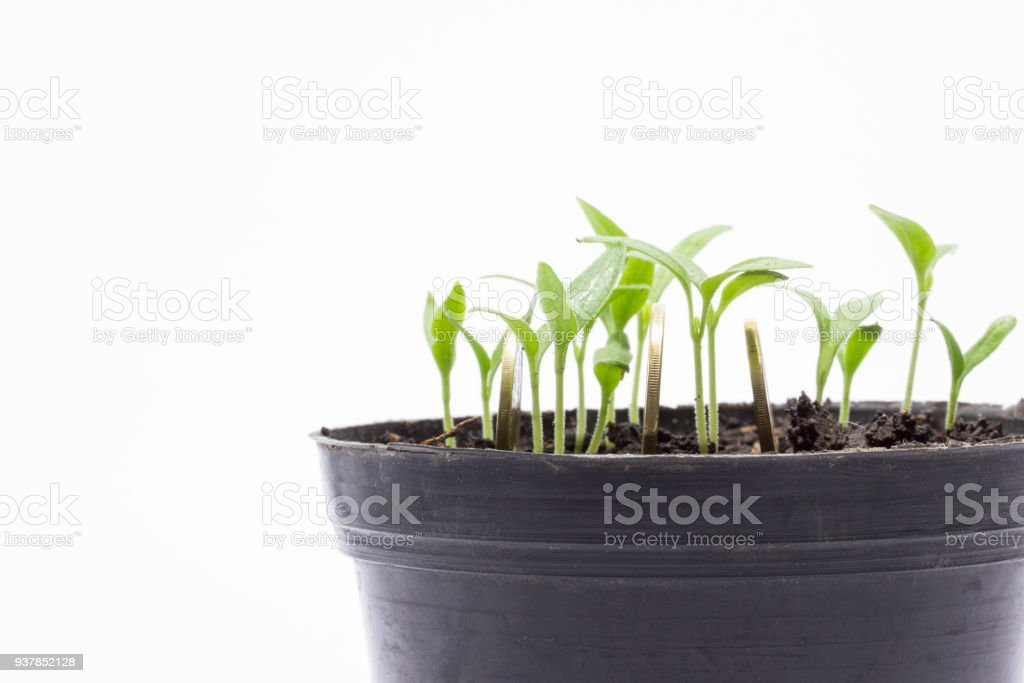 shiny coins and young green sprouts in a pot on a gray background stock photo
