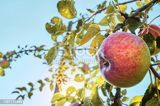 picture of a Ripe Apples in Orchard ready for harvesting