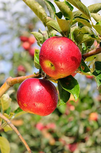 Glänzende delicious-Äpfel – Foto