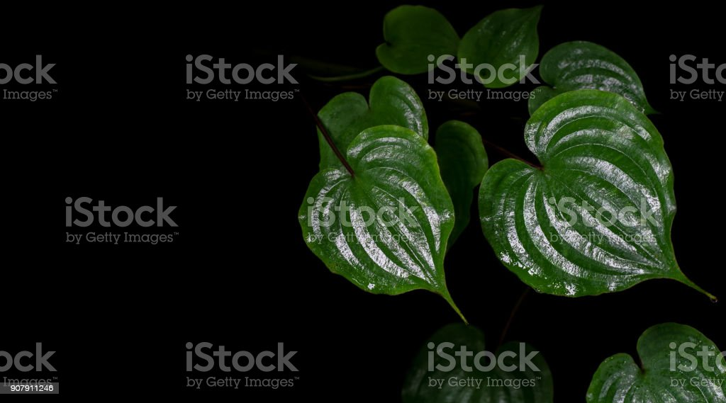Shiny heart shaped green leaves after rain of climbing perennial herb plant (Streptolorion volubile) in tropical montane rainforest on black background. stock photo