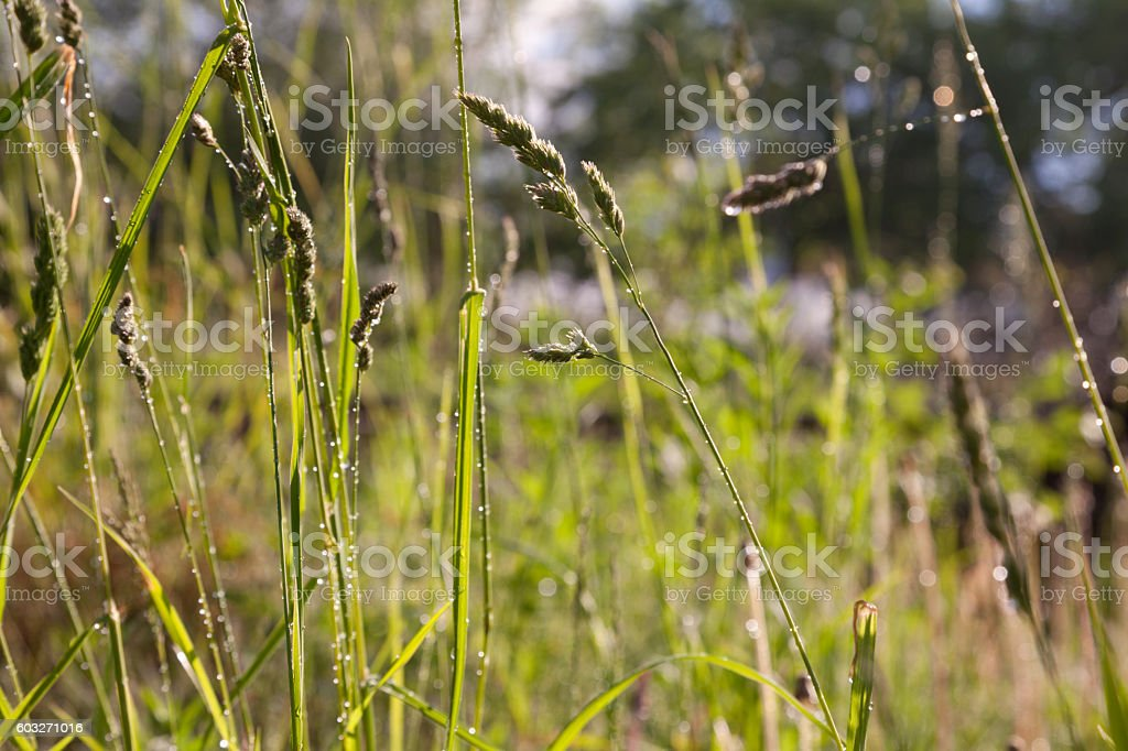 Shiny raindrops on the wet grass in the meadow – Foto