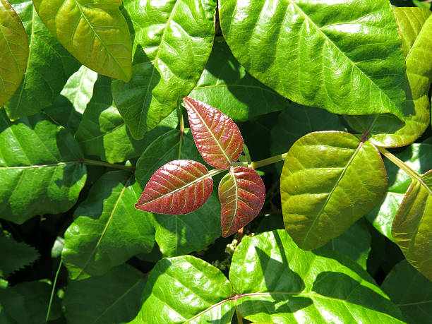 Shiny Red and Green Leaves on Poison Ivy Plant stock photo