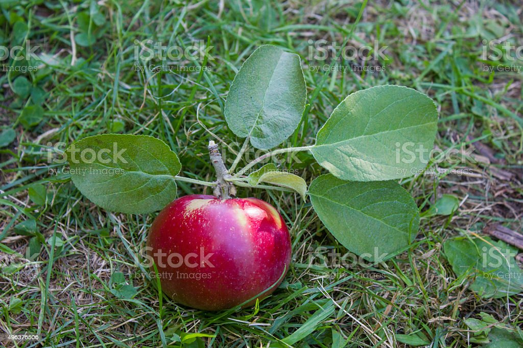 Shiny Red Apple on the Ground stock photo