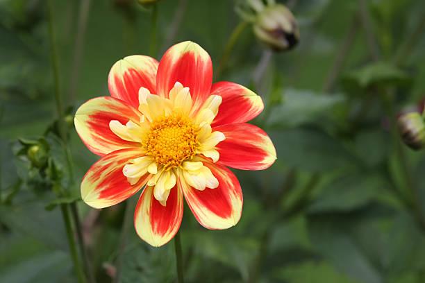 Shiny Sunflower bildbanksfoto