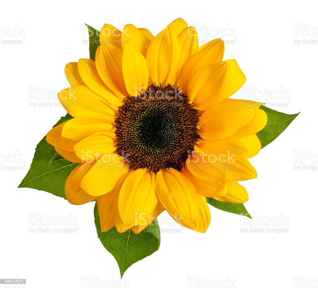 Shiny yellow sunflower with green leaves on white background stock photo