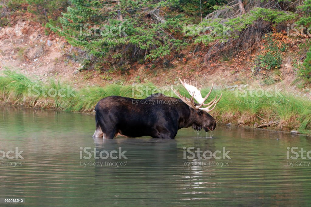 Shiras Bull Moose near shore of Fishercap Lake in the Many Glacier region of Glacier National Park  in Montana United States zbiór zdjęć royalty-free