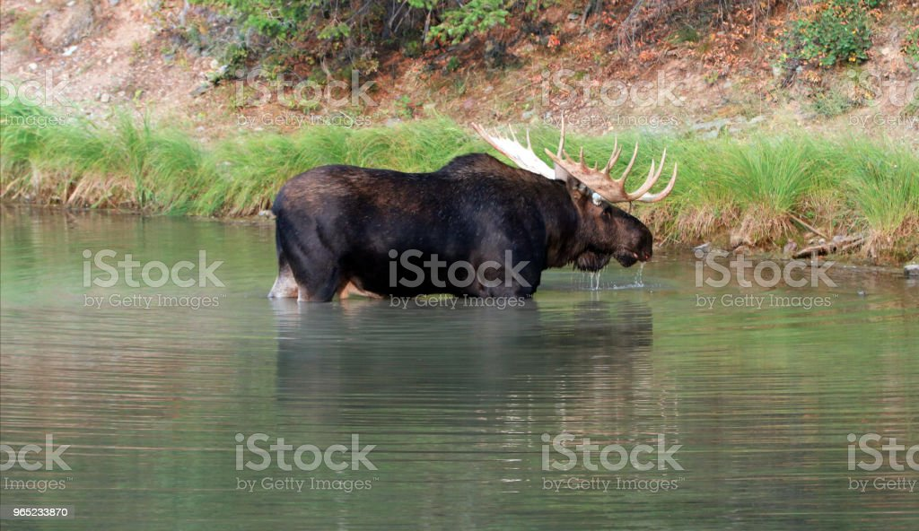 Shiras Bull Moose near shore of Fishercap Lake in the Many Glacier region of Glacier National Park  in Montana United States royalty-free stock photo