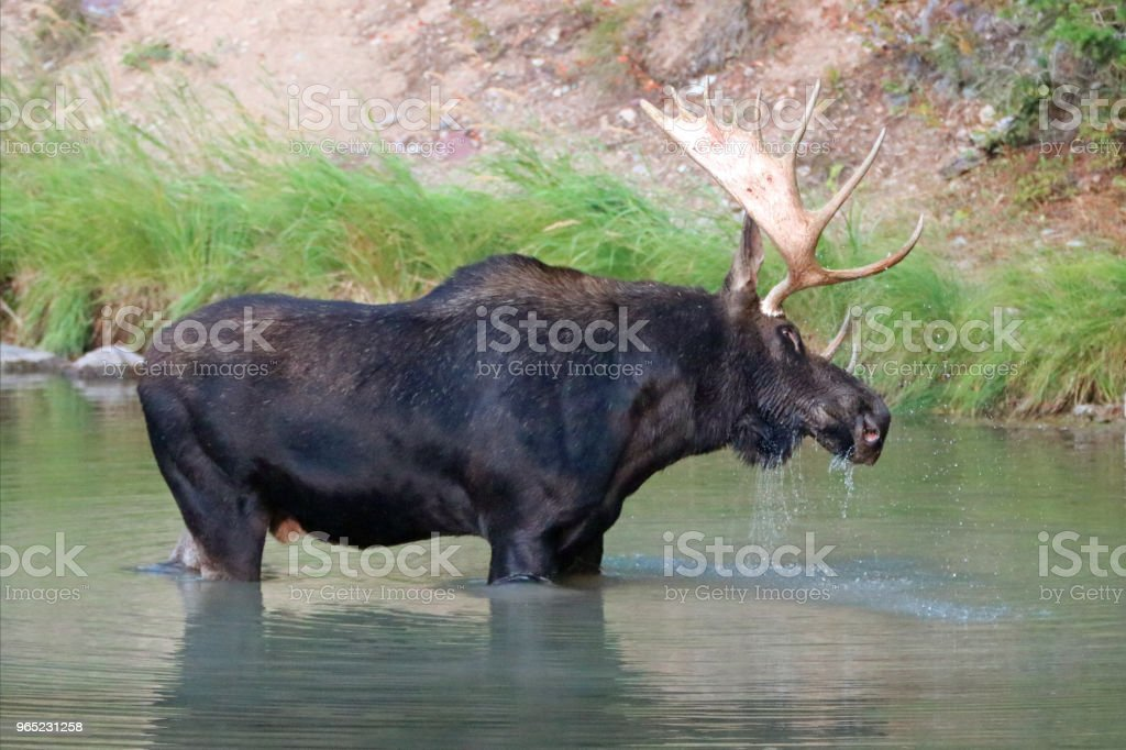 Shiras Bull Moose shaking off the water near the shore of Fishercap Lake in the Many Glacier region of Glacier National Park  in Montana United States zbiór zdjęć royalty-free
