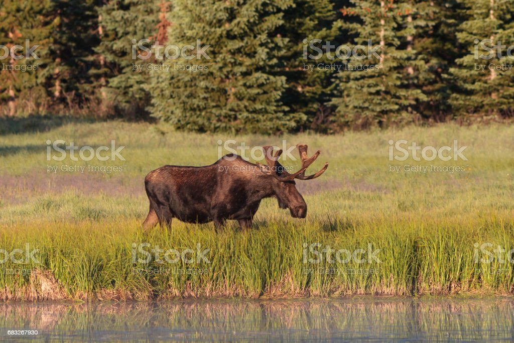 Shiras Moose of The Colorado Rocky Mountains 免版稅 stock photo