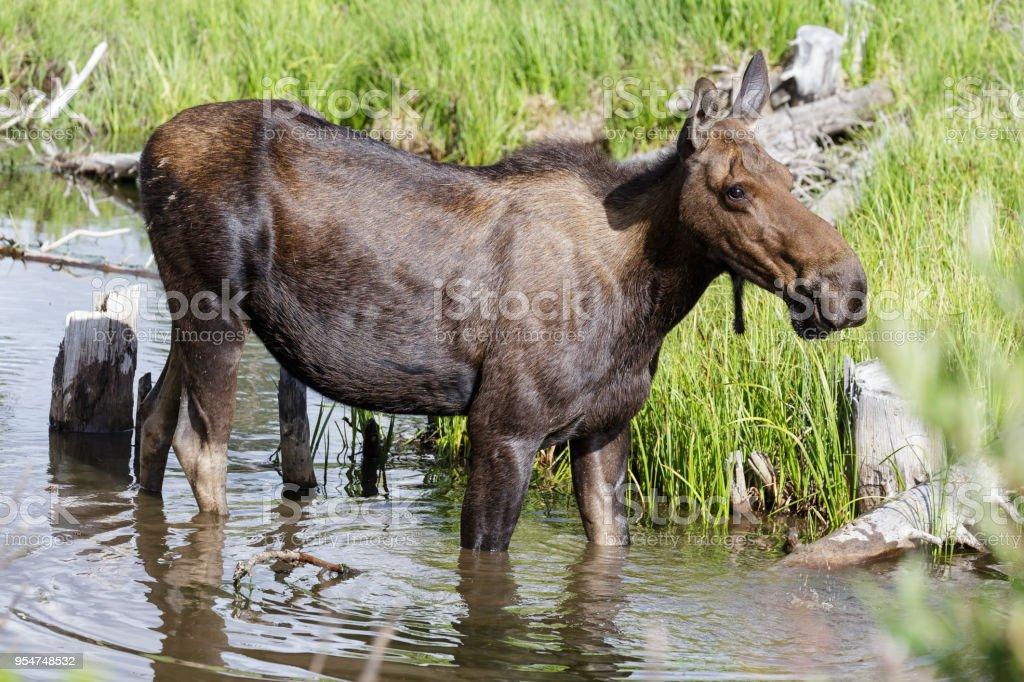 Shiras Moose of The Colorado Rocky Mountains stock photo