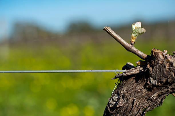 Shiraz bud, organic vineyard in McLaren Vale, Australia stock photo