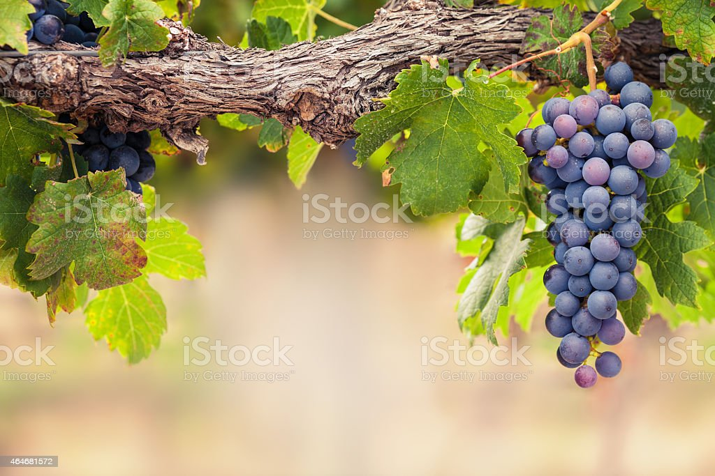 Shiraz grapes on old vine Close-up of beautiful bunch of Shiraz red wine grapes on vine with copy space. 2015 Stock Photo