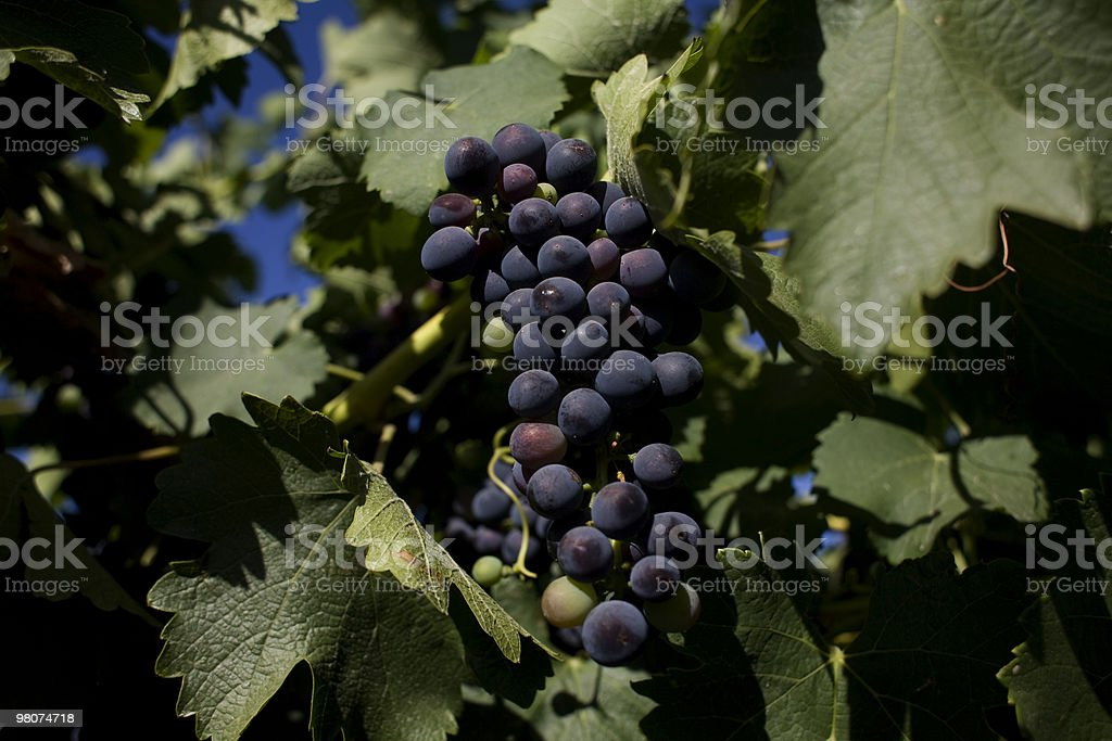 Shiraz grapes royalty-free stock photo