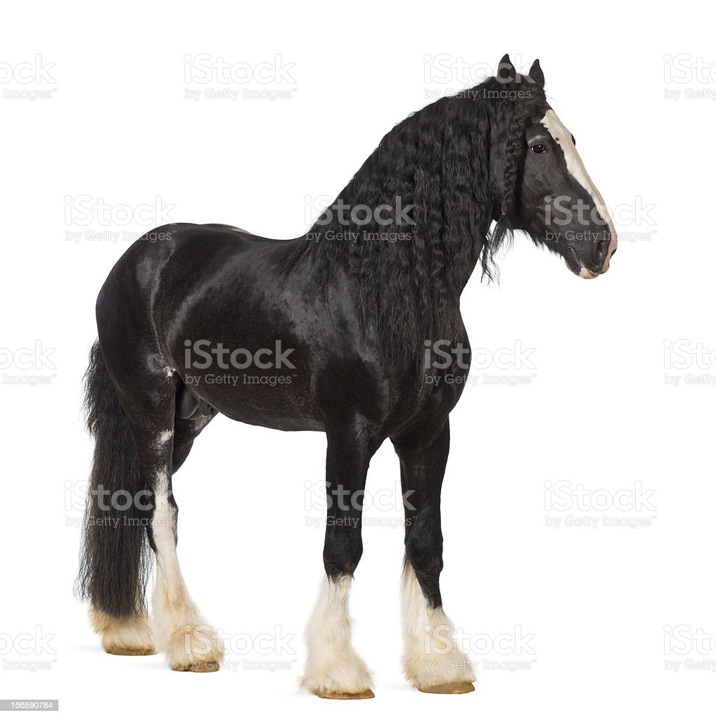 Shire Horse standing against white background stock photo