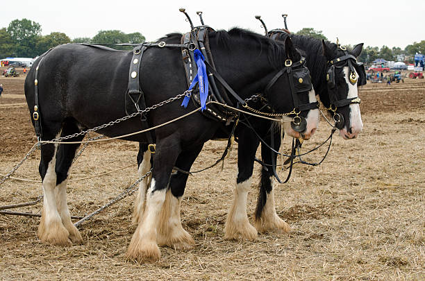 shire horses at ploughing competition - sports championship stock photos and pictures