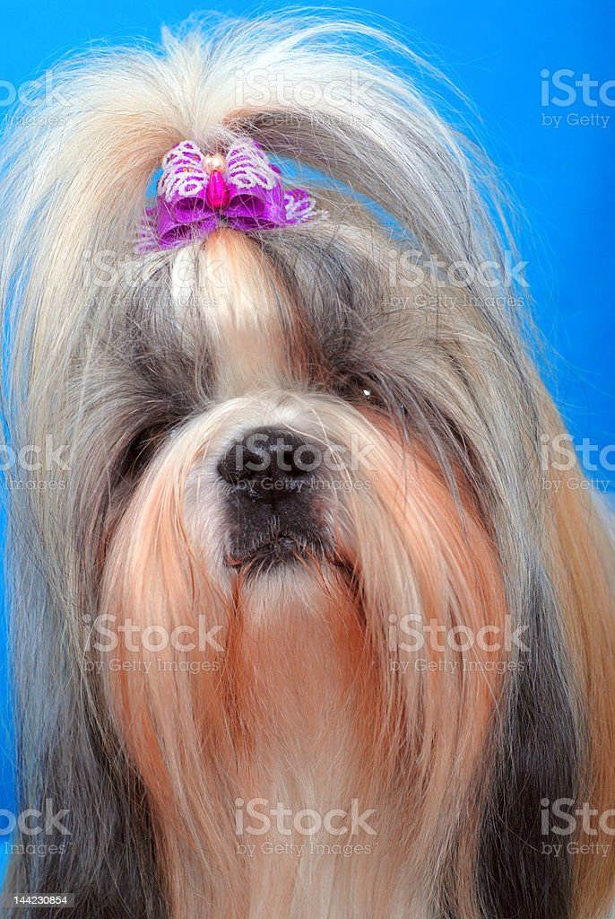 shi-tzu 10 royalty-free stock photo
