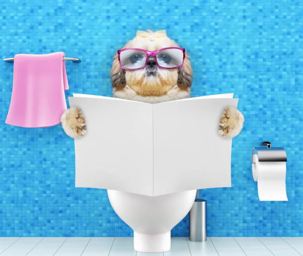 shitzu hundesitting auf einem toilettensitz mit verdauungsstörungen oder verstopfung magazin oder eine zeitung lesen - durchfall beim hund stock-fotos und bilder