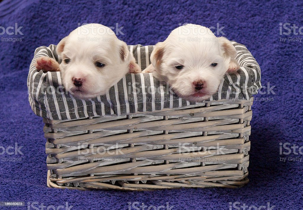 Shitzu puppies in a basket royalty-free stock photo