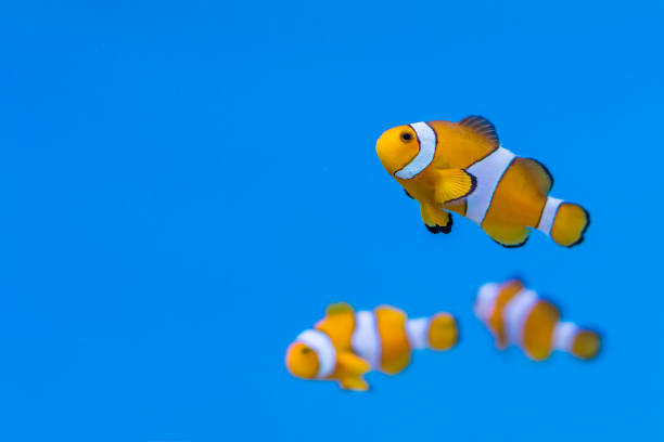 Shoal of Amphiprion ocellaris in aquarium fish tank It is also known as ocellaris clownfish, false percula clownfish , clown anemonefish or common clownfish false clown fish stock pictures, royalty-free photos & images