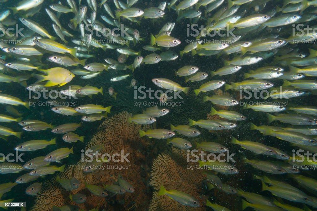 Shoal of Bigeye Snapper (Lutjanus lutjanus) Fish on coral reef stock photo