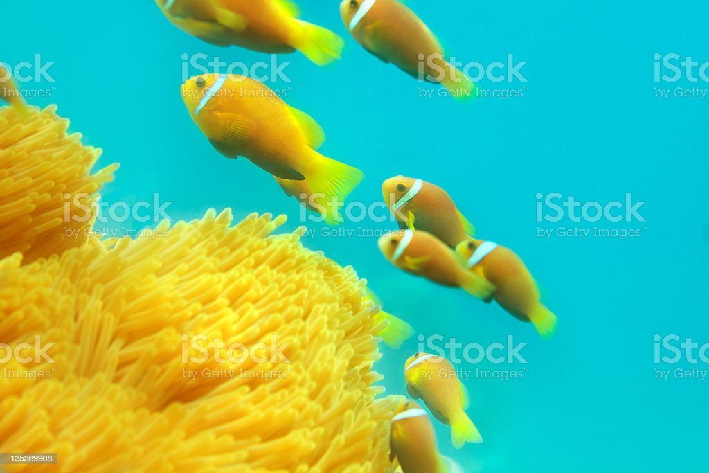 Shoal of clownfishes royalty-free stock photo