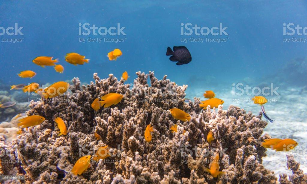 Fotografía de Banco De Damisela En Frágiles Arrecifes De Coral ...