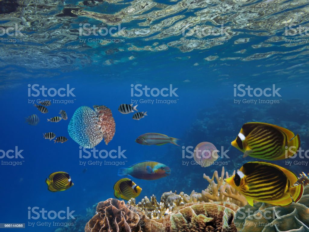 Shoal van vis en gigantische kwal - Royalty-free Bali Stockfoto