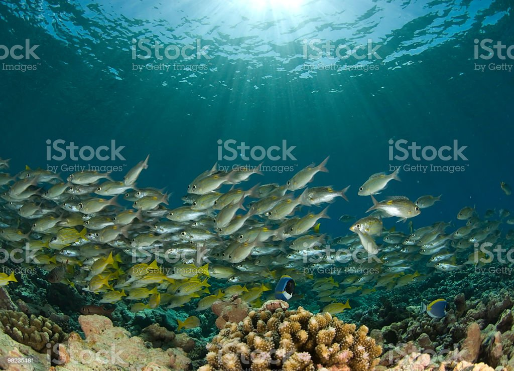 shoal of fish in sunbeam royalty-free stock photo
