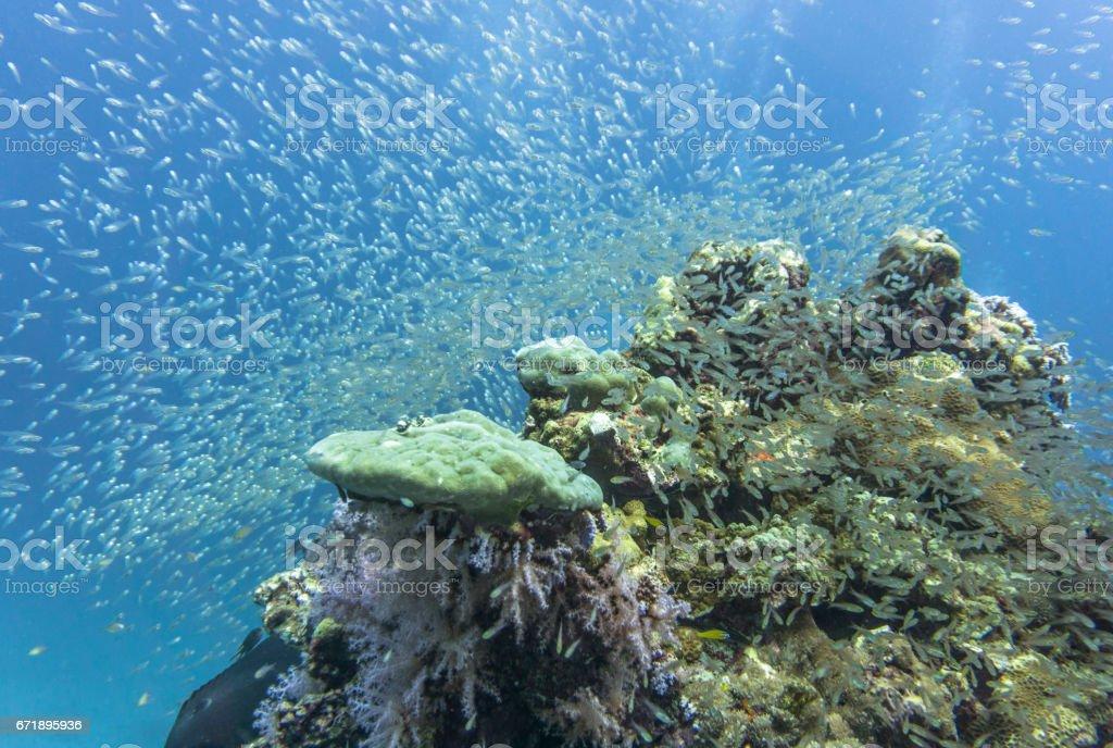 Shoal of Glass fish aka Pygmy Sweeper (Parapriacanthus ransonneti) on Coral Reef Ecosystem Ocean Environment, Ko Haa Islands, Andaman Sea, Krabi, Thailand. - foto stock