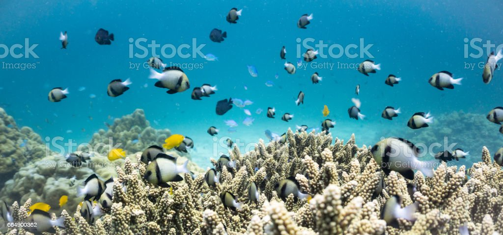 Shoal of Indian Damselfish (Dascyllus cameus) on Fragile Staghorn Coral (Acropora), Koh Haa Islands, Krabi, Andaman Sea, Thailand. stock photo