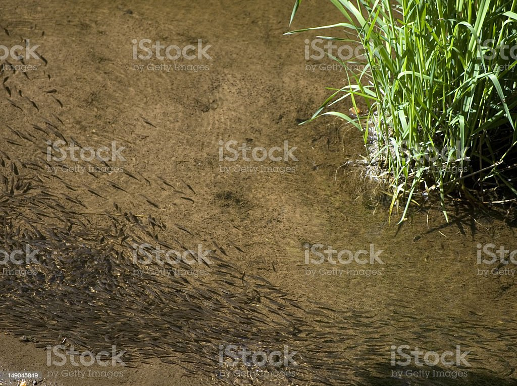 Shoal of minnows - Scottish river royalty-free stock photo