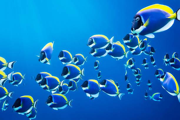 rewa z powder blue surgeonfish - tropikalna ryba zdjęcia i obrazy z banku zdjęć
