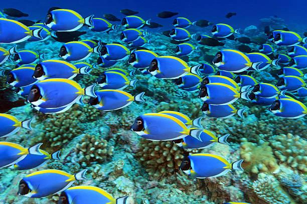 shoal of powder blue tang surgeonfish - tropikalna ryba zdjęcia i obrazy z banku zdjęć