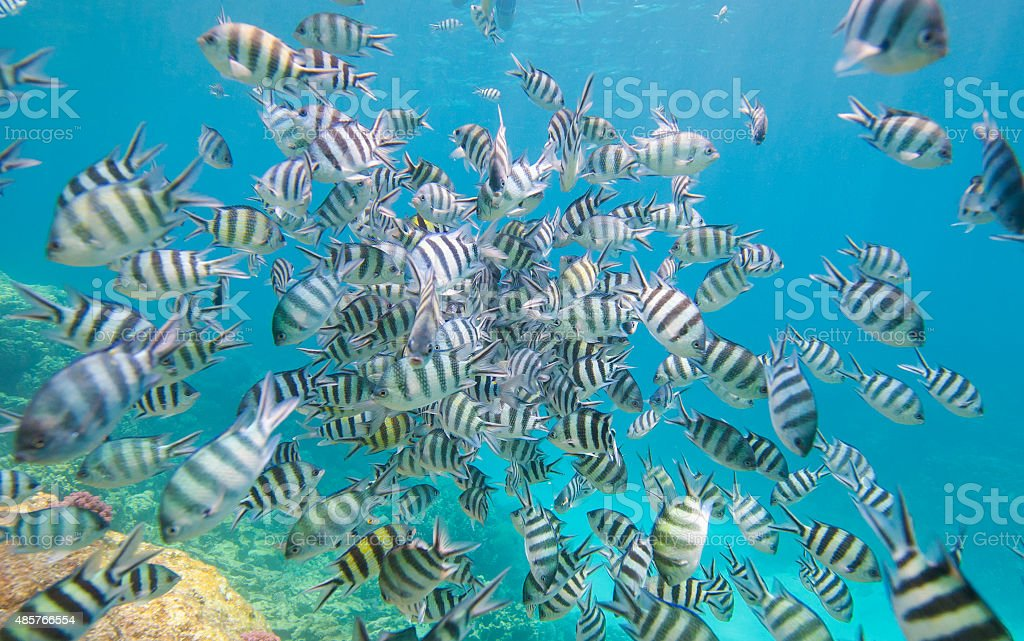 Shoal of sergeant major damselfish on coral reef stock photo