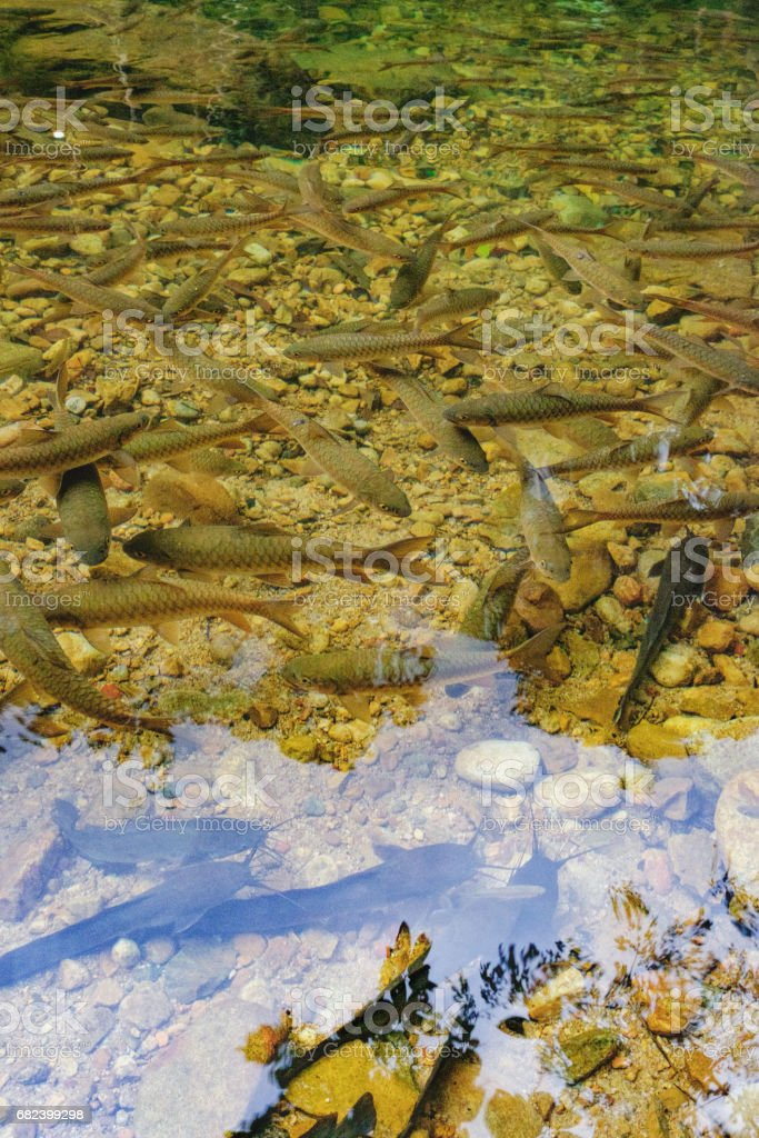 Shoal of tropical fishes near the water surface royalty-free stock photo